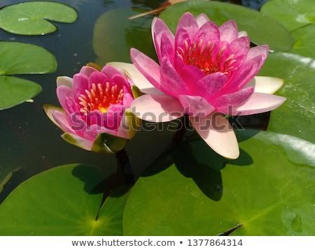 Iki lotus çiçekler yaprakları su örnek Stok fotoğraf © colematt