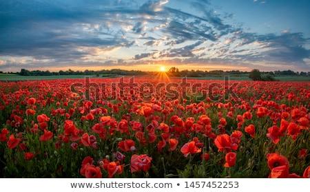 Piros mező pipacsok virágok kék sárga virágok Stock fotó © sarahdoow