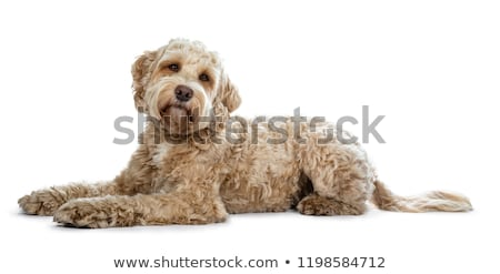 Head shot of young adult golden Labradoodle dog  Stock photo © CatchyImages
