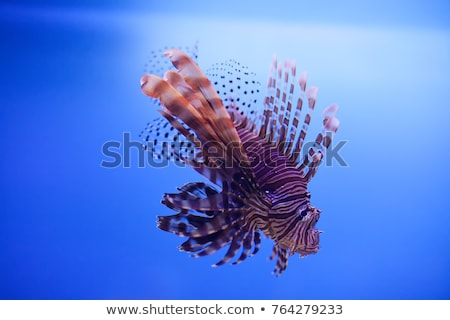 Swimming red lionfish. Pterois miles. dangerous, extraordinary, poisonous ocean fish. blue backgroun Stock photo © galitskaya