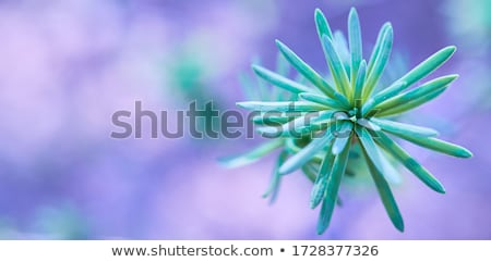 Coniferous nature background. Larch branch. Stock photo © dariazu