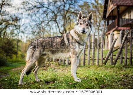 肖像 · 犬 · 庭園 · 悲しい · 動物 · 面白い - ストックフォト © capturelight