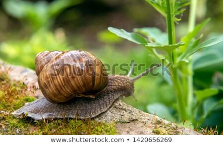 snail crawling on the wet stone Stock photo © OleksandrO
