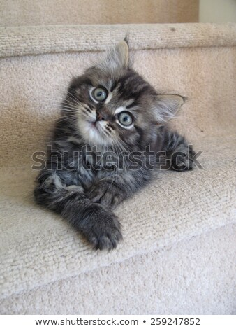 A very cute long haired brown and black tabby pussycat with long Stock photo © chrisga