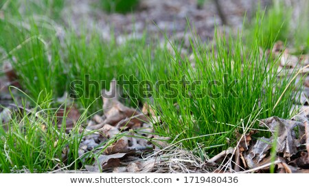 Lawn with Young Shoots and Dry Leaves. Stock photo © tashatuvango
