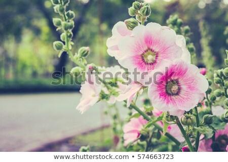 Beautiful pink Hollyhock flowers in the garden Stock photo © Julietphotography