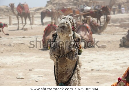 Camel headshot on natural surroundings Stock photo © Sportactive