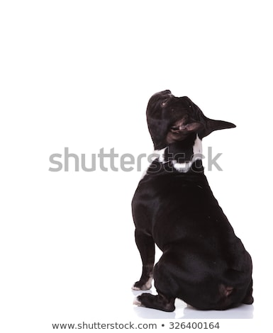back view of a seated french bulldog puppy looking up stock photo © feedough