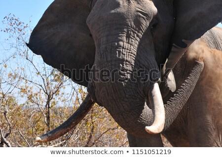 Słoń byka pyłu parku czarno białe Południowej Afryki Zdjęcia stock © simoneeman