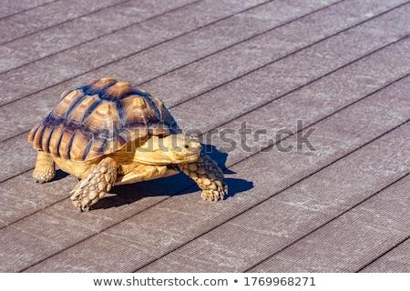 Kicsi lassú teknős édes otthon díszállat Stock fotó © jonnysek