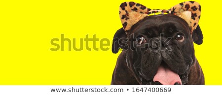 curious dog with animal print ears looks up to side Stock photo © feedough