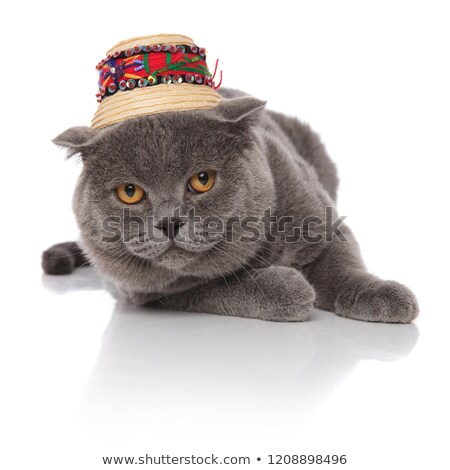 adorable scotish fold wearing a traditional hat while resting Stock photo © feedough