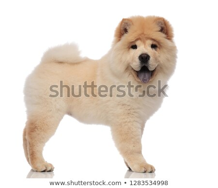 side view of furry chow chow standing with tongue exposed Stock photo © feedough