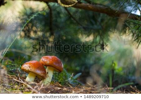 two mushrooms stretch towards the sunlight Stock photo © romvo