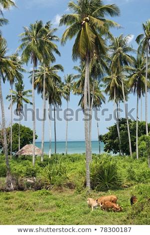 Foto stock: Vacas · campo · praia · tropical · phuket · Tailândia · paisagem