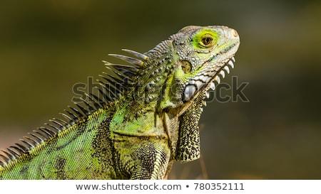 Iguana közelkép zöld természet szín sárkány Stock fotó © IMaster