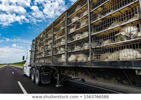 Trucking Chickens Stock photo © cboswell