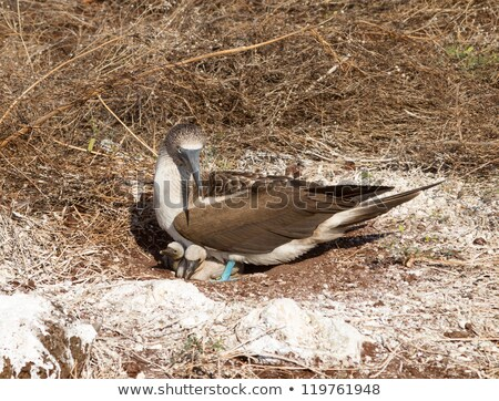 Curious blue footed booby seabirds on Galapagos Stock photo © backyardproductions