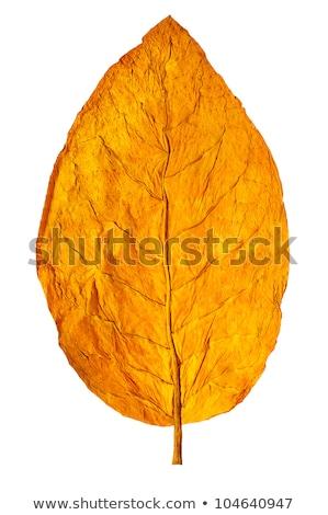 табак листьев изолированный белый саду зеленый Сток-фото © kornienko