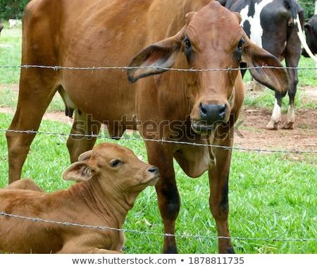 moeder · koe · jonge · veld · voorjaar - stockfoto © meinzahn