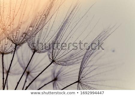 Velho dandelion verde papel de parede planta Foto stock © przemekklos