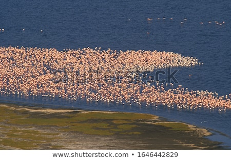 Flamingos on Lake Nakuru Stock photo © ajn
