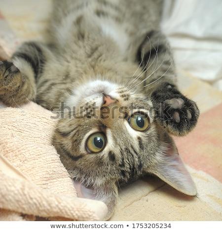 Barna csíkos kiscica közelkép fotó izolált Stock fotó © ajn