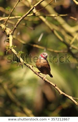 Cut-throat Finch (Amadina fasciata) Stock photo © davemontreuil