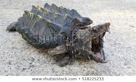 alligátorok · baba · Florida · víz · család · természet - stock fotó © saddako2