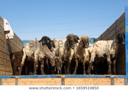 Bazar cara deserto animais Foto stock © meinzahn