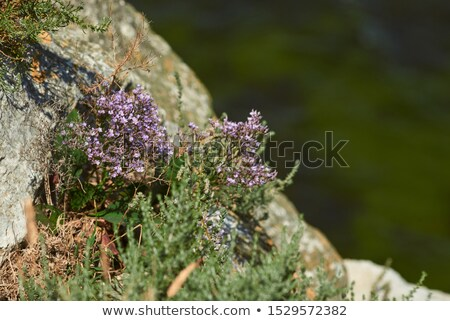 Violet flowers growing on a seaside cliff Stock photo © Mps197