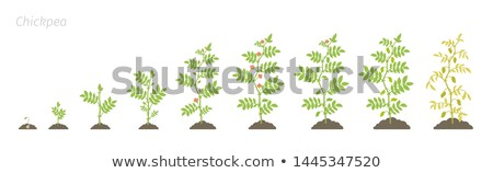 Chickpeas plantation Stock photo © deyangeorgiev