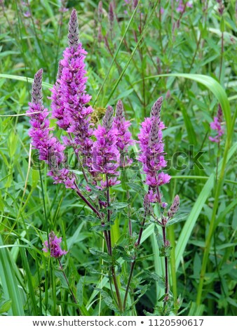Lila virág nedves legelő növekvő Stock fotó © Mps197