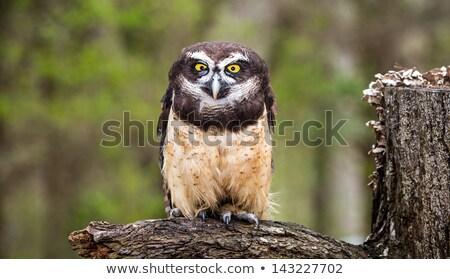 Belo espetáculo coruja olho cara natureza Foto stock © chrisga