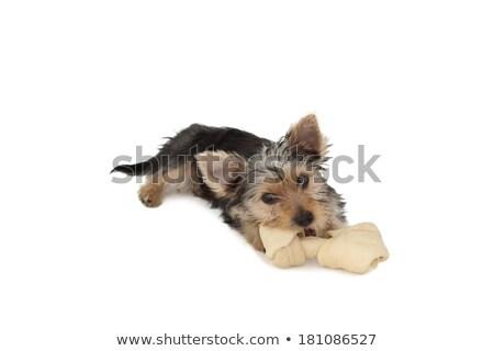 Yorkshire terrier cachorro hueso blanco Foto stock © wavebreak_media