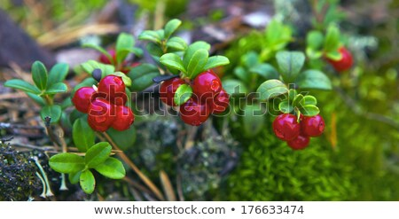 Red cranberries at a bog in Finland Stock photo © Mps197