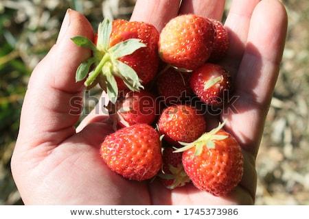 Bowl with freshly picked homegrown organic strawberries Stock photo © stevanovicigor