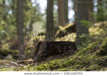 a stump at the forest stock photo © bluering