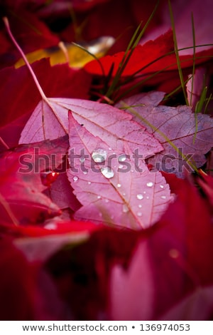 Red maple leaves background and dew drops Stock photo © orensila