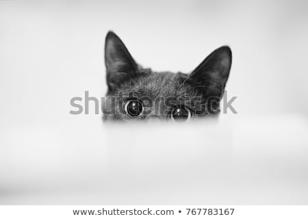 Kíváncsi feketefehér macska külső felfelé mögött Stock fotó © feedough