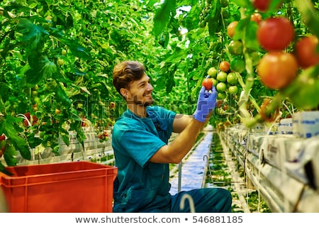 young man picking a tomatoes from the plant Stock photo © nito
