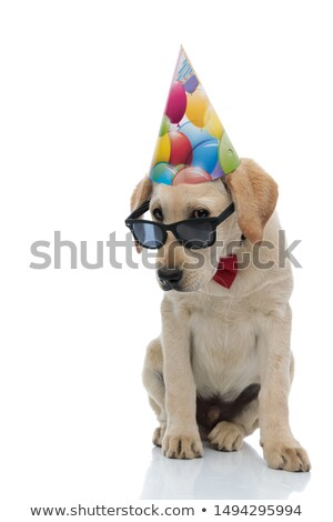 Stock photo: head of cute labrador wearing birthday hat looking to side