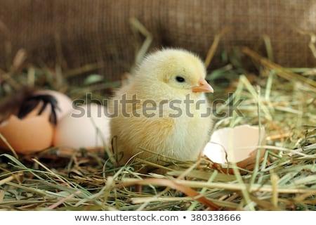 Pequeno pintinho ovo ilustração feliz fundo Foto stock © colematt