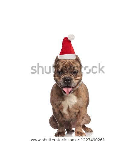 adorable american bully wearing a santa cap looks down Stock photo © feedough
