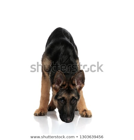 black and brown german shepard sniffing while standing Stock photo © feedough