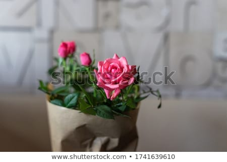 womens hands wrap a bouquet of roses in paper stock photo © furmanphoto