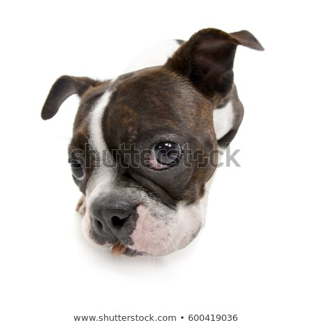 Wide angle shot of an adorable Boxer Stock photo © vauvau