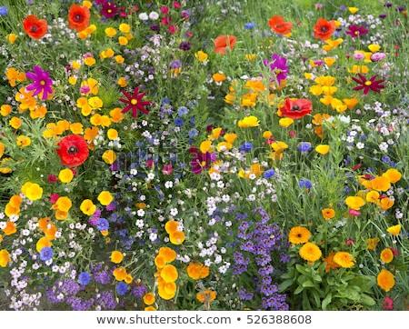 Branco flores silvestres textura parque grama verde primavera Foto stock © vapi