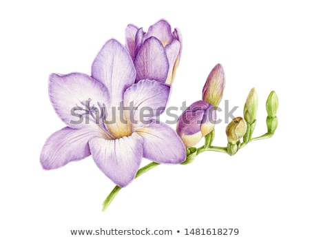 Watercolor white and violet and white freesia flower on the background of dots. Seamless background  Stock photo © Natalia_1947