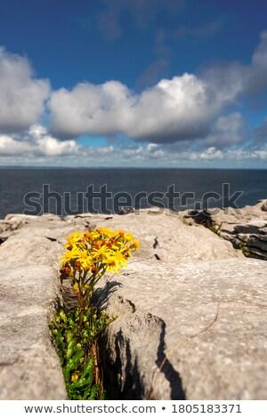 burren yellow flower plant life Stock photo © morrbyte